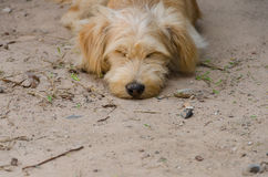 Cane che dorme sulla terra Fuoco selettivo Fotografia Stock