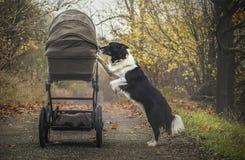 Cane che esamina passeggiatore Immagine Stock Libera da Diritti