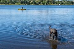 Cane che esce da un lago in cui sta giocando fotografie stock