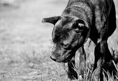 Cane che fiuta nel frutteto al sole, in bianco e nero Immagine Stock