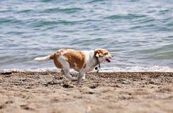 Cane che funziona sulla spiaggia fotografie stock libere da diritti