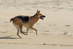 Cane che funziona sulla spiaggia Fotografie Stock