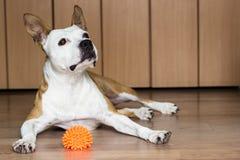 Cane che gioca con un giocattolo immagini stock libere da diritti