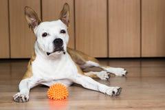 Cane che gioca con un giocattolo fotografia stock libera da diritti
