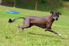 Cane che gioca nel disco di volo Immagine Stock