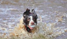 Cane che gioca sfera Fotografia Stock