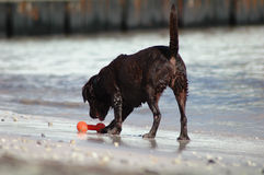 Cane che gode della spiaggia Immagine Stock