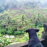 Cane che gode della vista dei terrazzi della risaia fotografie stock libere da diritti