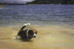 Cane che gode di una passeggiata da un lago fotografia stock