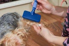 Cane che governa, spazzola più destra Fotografie Stock