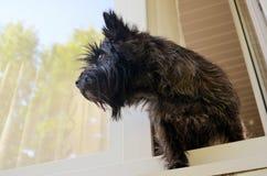 Cane che guarda fuori la finestra fotografia stock