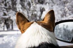 Cane che guarda fuori la finestra di automobile Fotografie Stock