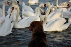 Cane che guarda i cigni Fotografia Stock