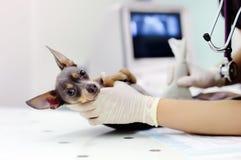 Cane che ha ricerca di ultrasuono nell'ufficio del veterinario fotografie stock