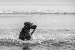 Cane che insegue le bolle nel mare Fotografie Stock Libere da Diritti