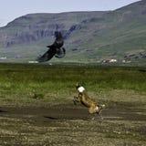 Cane che insegue un corvo in Icland immagini stock