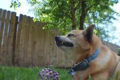 Cane che mangia erba Fotografie Stock