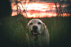 Cane che mangia erba Immagini Stock