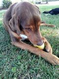 Cane che mastica su Apple fotografie stock libere da diritti