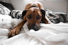 Cane che mette su letto Fotografia Stock