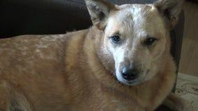 Cane che mette su strato che sembra sospettoso video d archivio