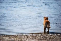 Cane che osserva fuori al mare Fotografie Stock Libere da Diritti