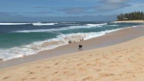 Cane che passa le onde sulla spiaggia dell'Hawai video d archivio