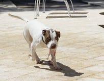 Cane che porta il suo proprio guinzaglio Fotografia Stock Libera da Diritti