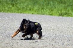 Cane che preleva la sfera di tennis Fotografia Stock Libera da Diritti