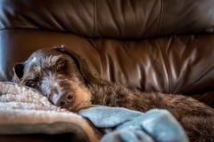 Cane che prende pelo in grande sedia di cuoio che guarda molto confortable immagini stock