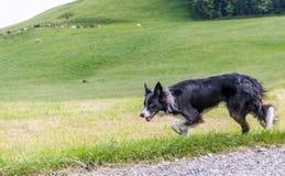 Cane che raduna le pecore Fotografie Stock