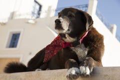 Cane che raffredda in Santorini Fotografia Stock