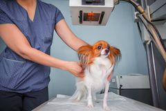 Cane che riceve i raggi x ad una clinica veterinaria immagine stock libera da diritti