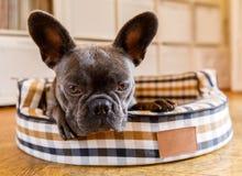Cane che riposa sul letto a casa immagini stock