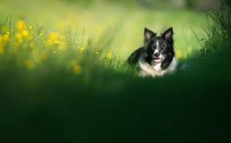 Cane che riposa sul prato Border collie in bianco e nero Fotografie Stock