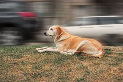 Cane che riposa sull'erba del bordo della strada in Front Of Blurred Traffic Immagini Stock