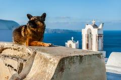 Cane che riposa in una delle chiese iconiche in Santorini, Grecia Fotografia Stock
