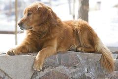 Cane che riposa in via Fotografie Stock