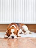 Cane che riposa vicino ad un radiatore caldo Fotografia Stock