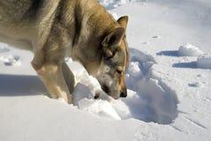 Cane che scava nella neve Fotografia Stock