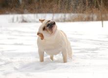 Cane che scuote neve fuori Immagini Stock