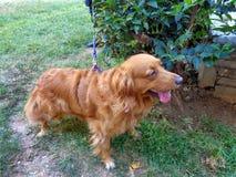 Cane che si siede nell'erba fotografia stock libera da diritti