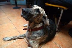 Cane che si siede nella barra amichevole dell'animale domestico Fotografia Stock