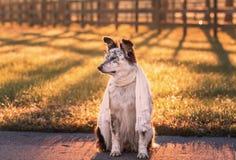 Cane che si siede sciarpa giù d'uso Fotografia Stock