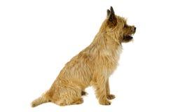 Cane che si siede sul bianco Fotografia Stock