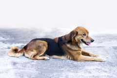 Cane che si siede sul pavimento Fotografia Stock