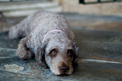 Cane che si trova giù Fotografia Stock Libera da Diritti