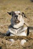 Cane che si trova nell'erba Fotografia Stock
