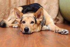 Cane che si trova sul pavimento Fotografia Stock