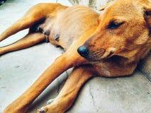 Cane che si trova sul pavimento Immagini Stock Libere da Diritti